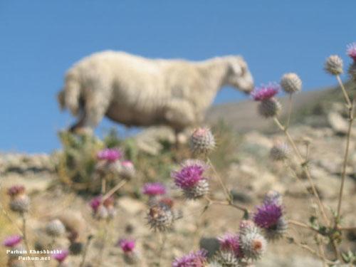 گوسپند یا همان گوسفند، عکس از پرهام خوشبخت